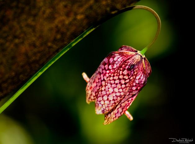 Kockás liliomok